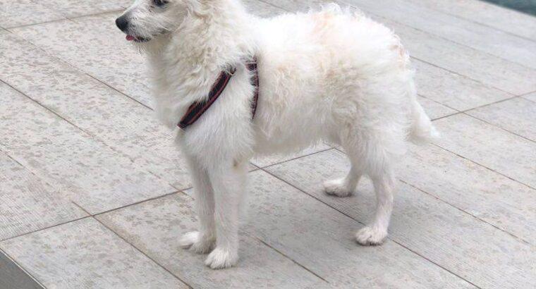 فروش سگ نژاد اشپیتز در استانبول